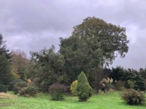 Eucalyptus tree reduction photo 3, completed, 31st October 2020